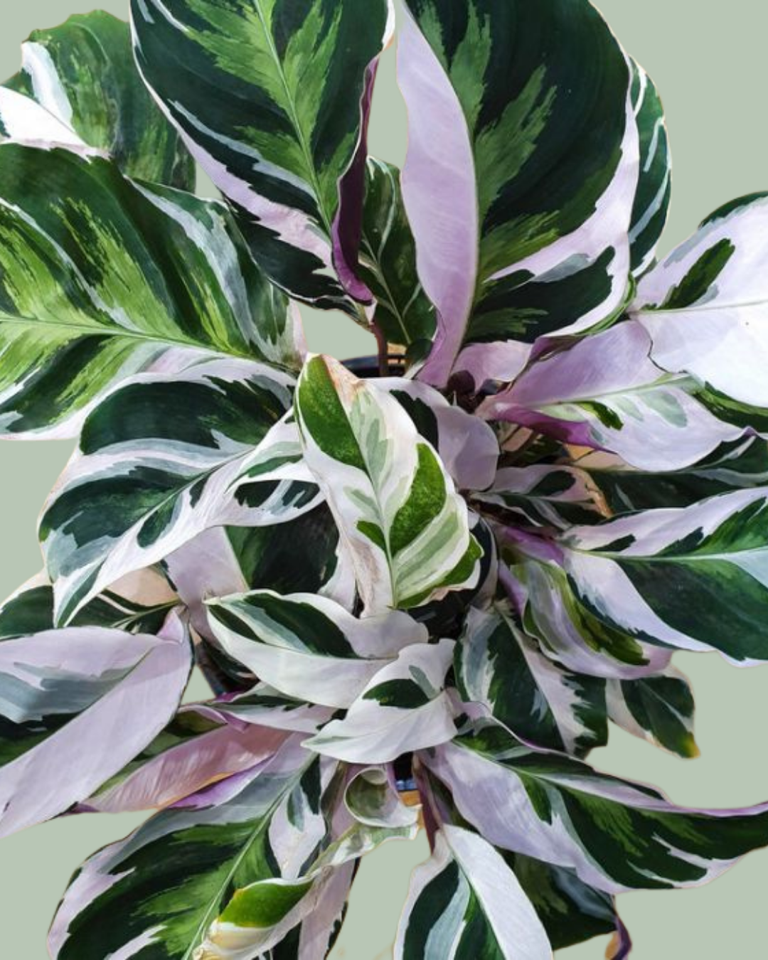 Calathea indoor plant plant delivery