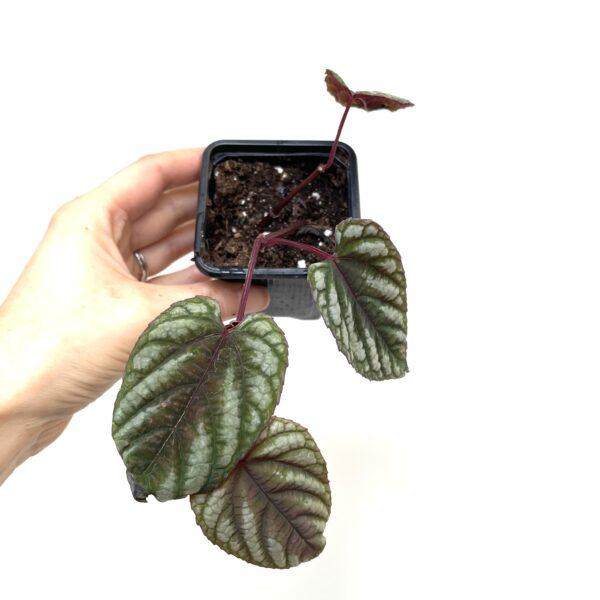 cissus discolor begonia