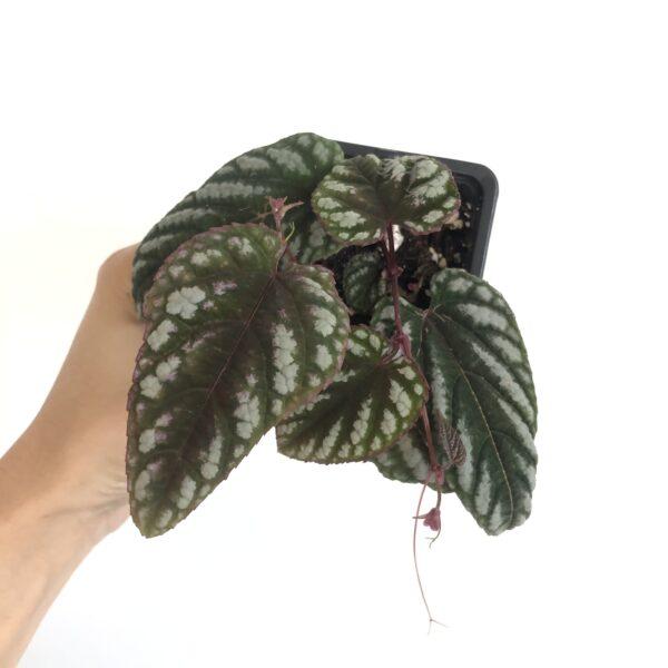 Cissus discolor plant