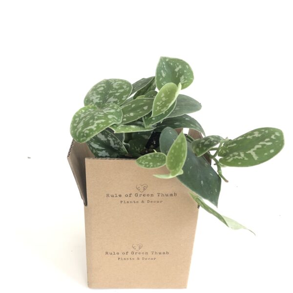 satin pothos indoor plant
