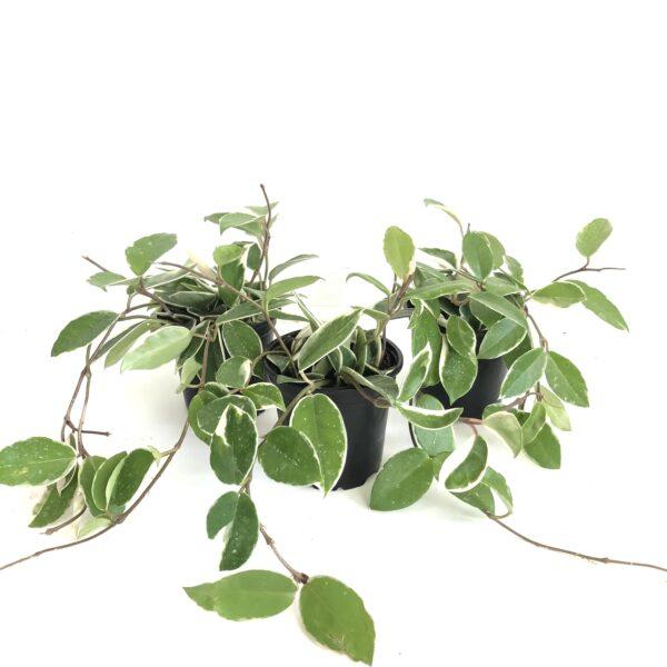 Hoya indoor plant