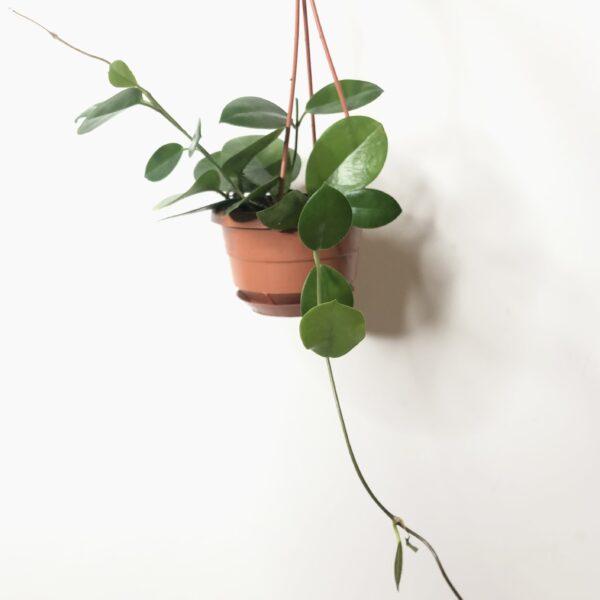 Indoor plant Hoya