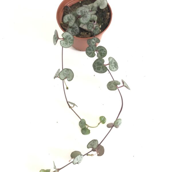 String of Heart Silver Glory