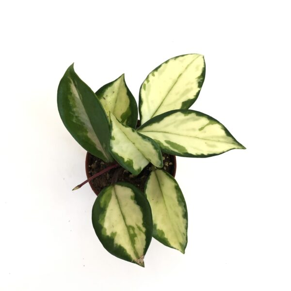 Rooted Hoya Carnosa