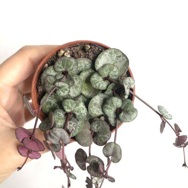 trailing indoor plant
