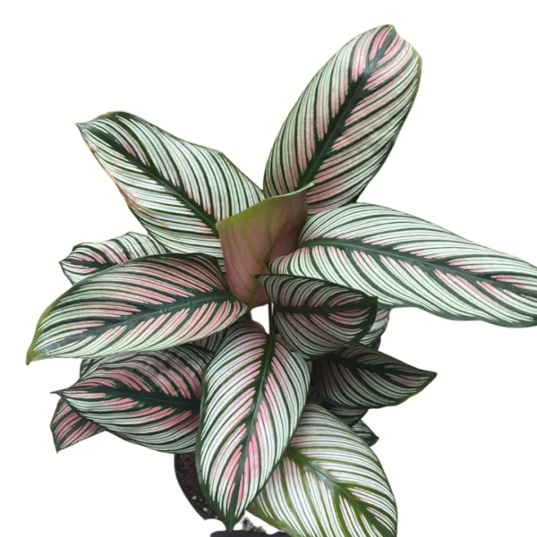 calathea indoor plant delivery