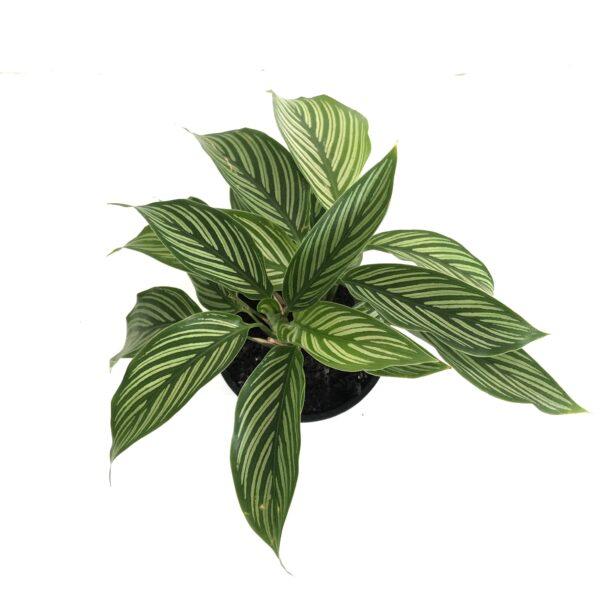Calathea indoor plant