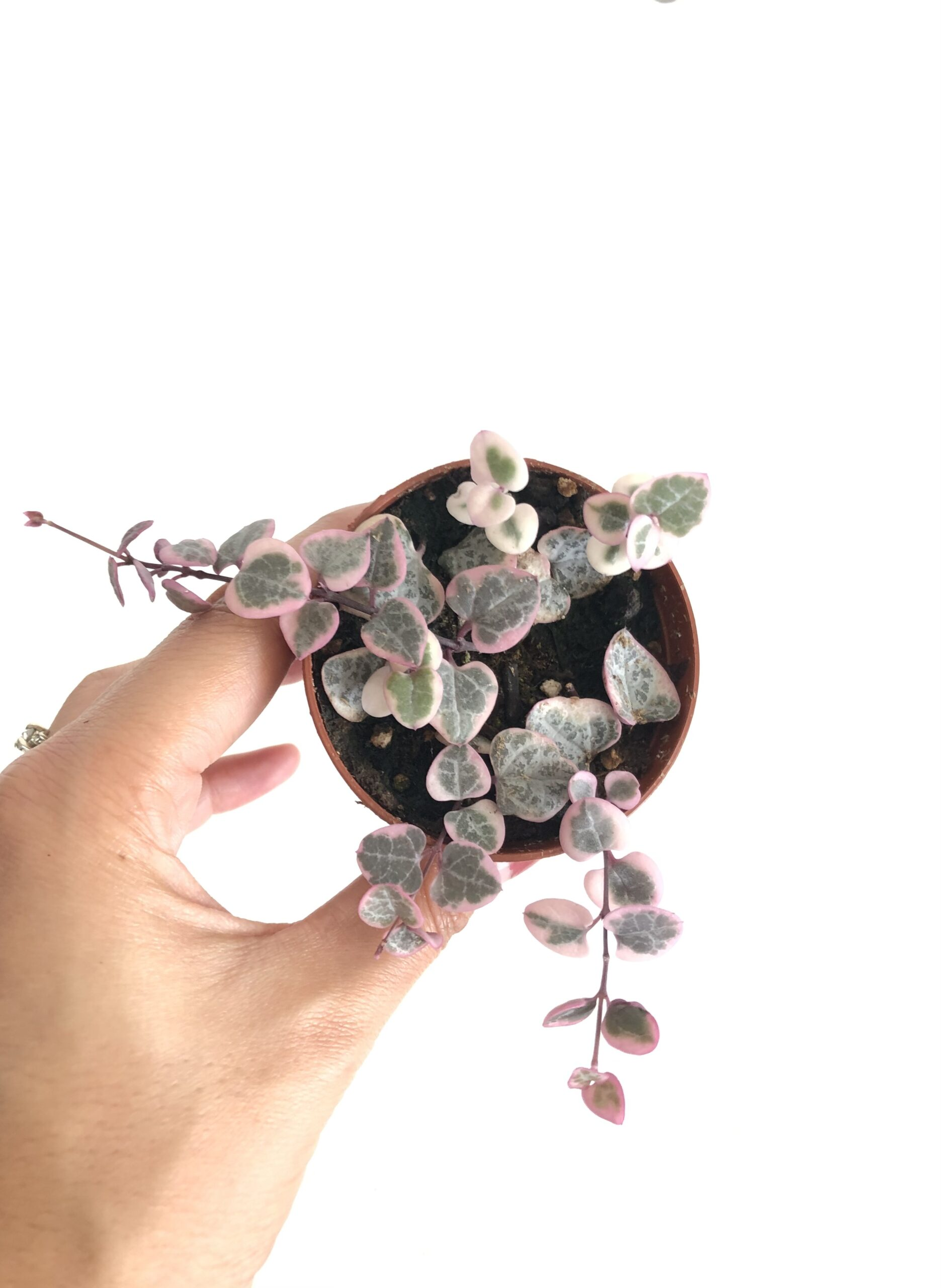 variegated plants