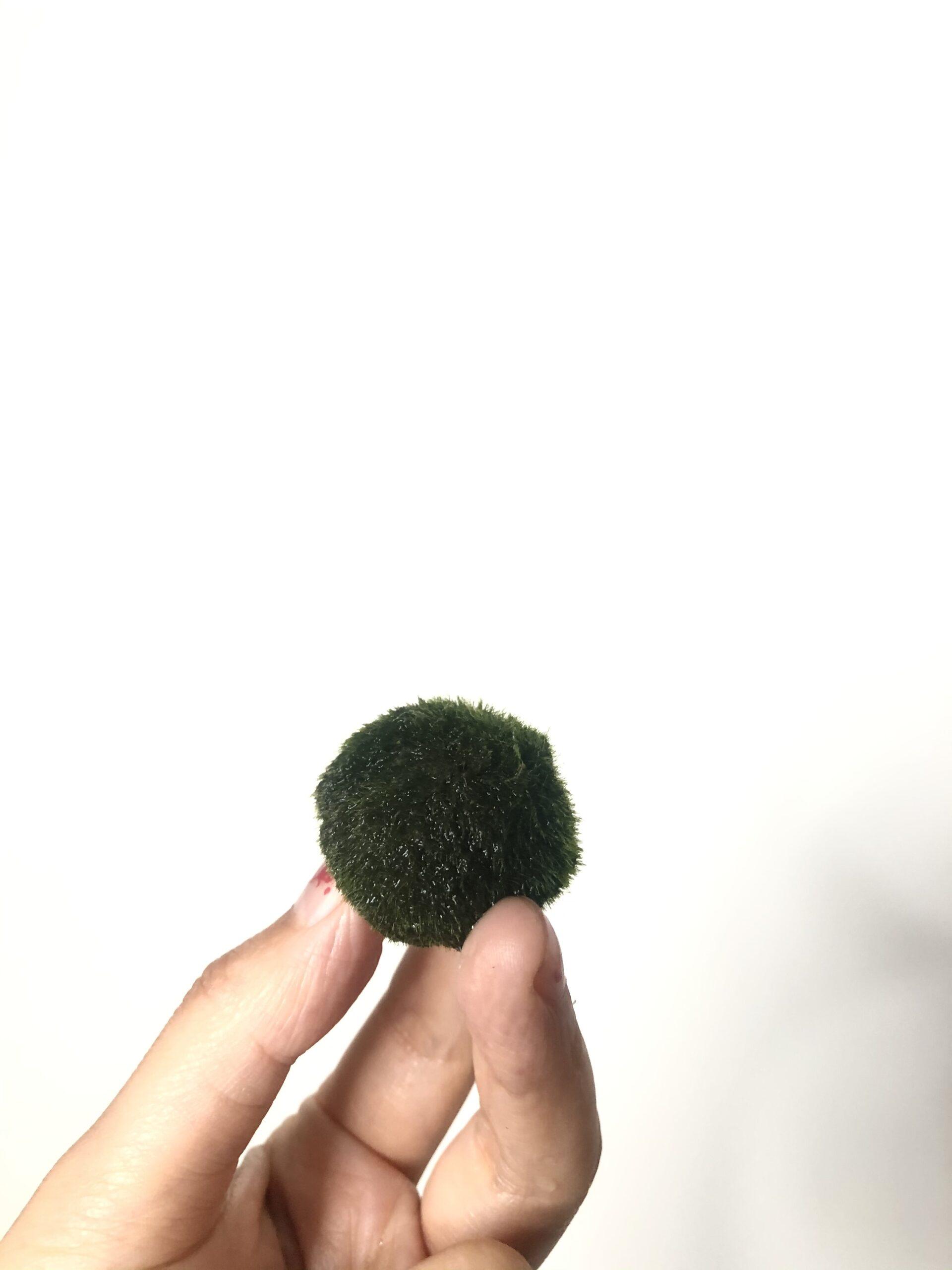 indoor plant marimo moss ball
