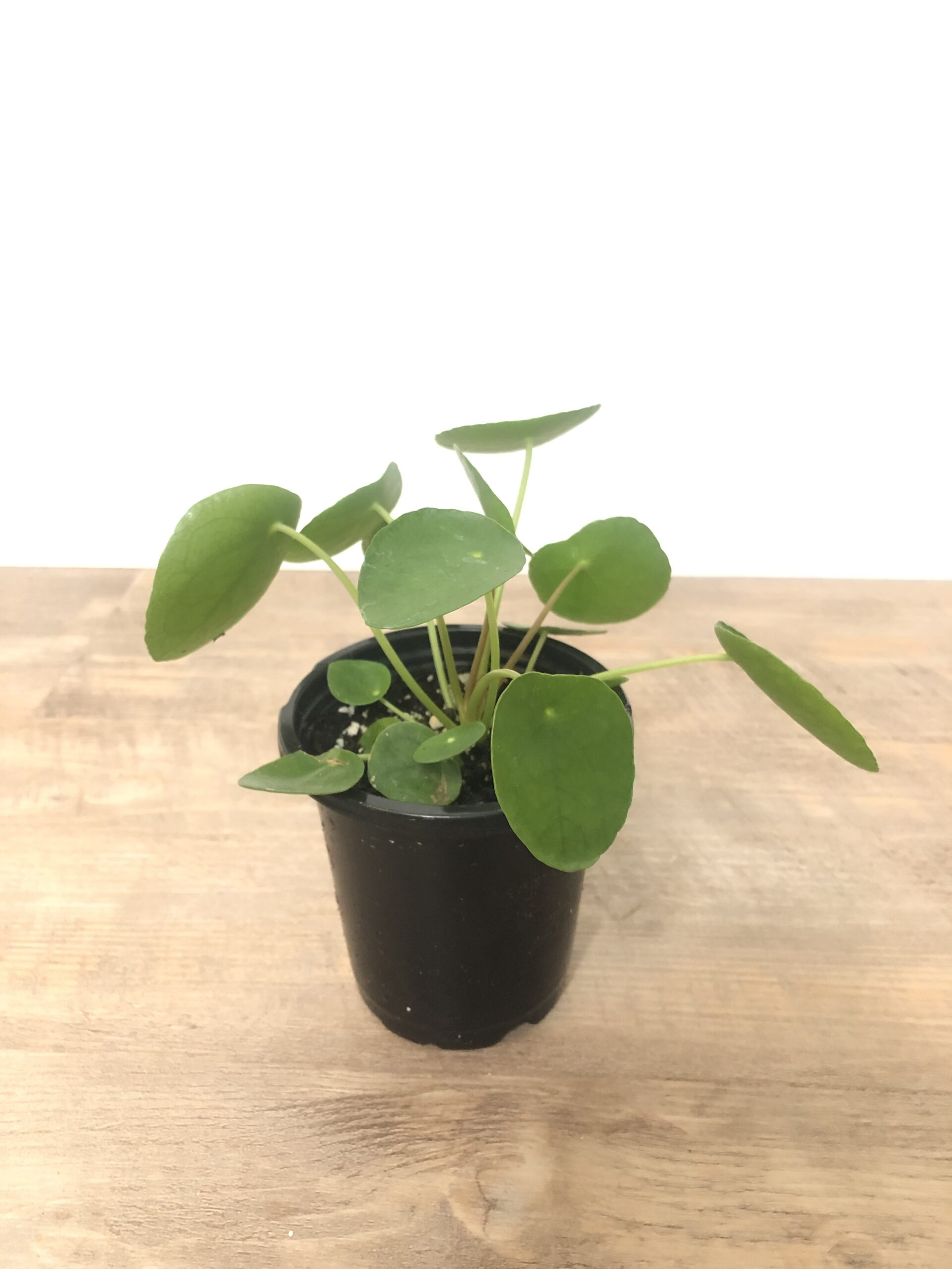 piles peperomioides indoor plant
