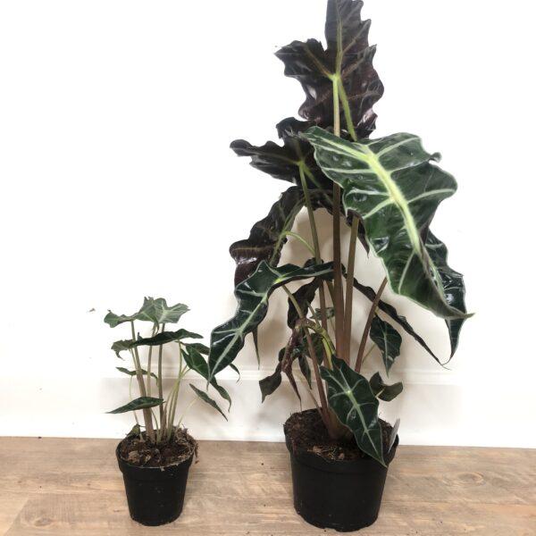 Alocasia polly indoor plant