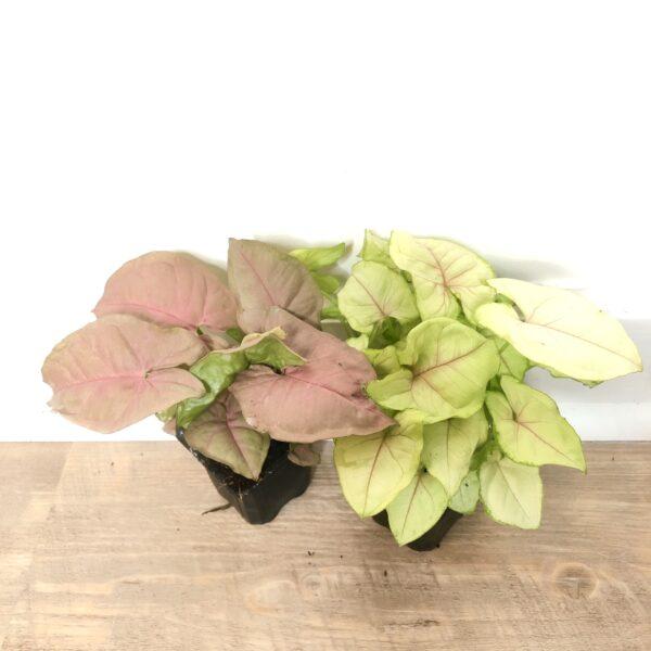 syngonium indoor plant east care
