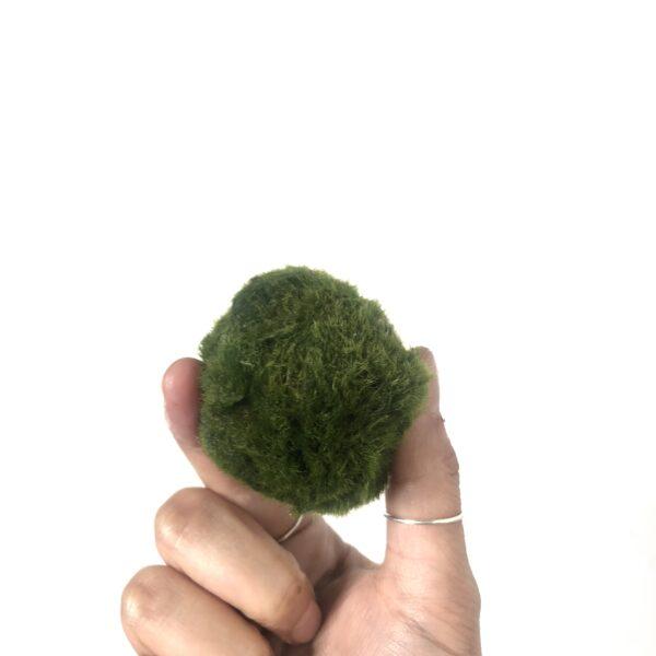 Marimo Moss Ball Jumbo