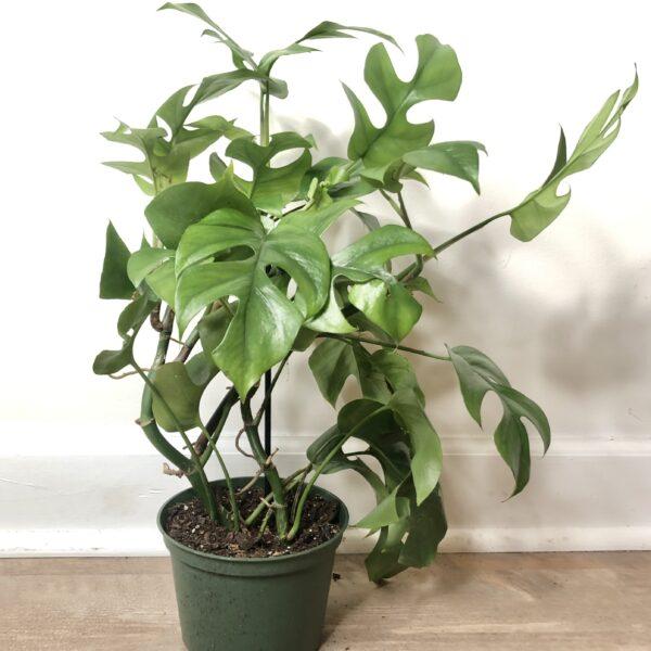 indoor plant mini monstera