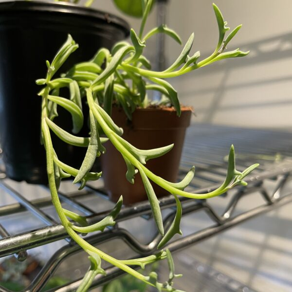 string of dolphins indoor plant