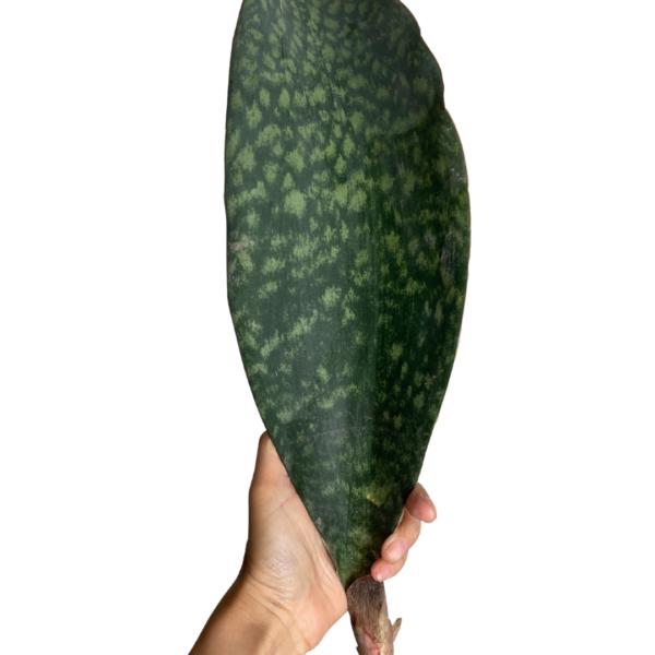 Whale Fin Sansevieria XL (Green)