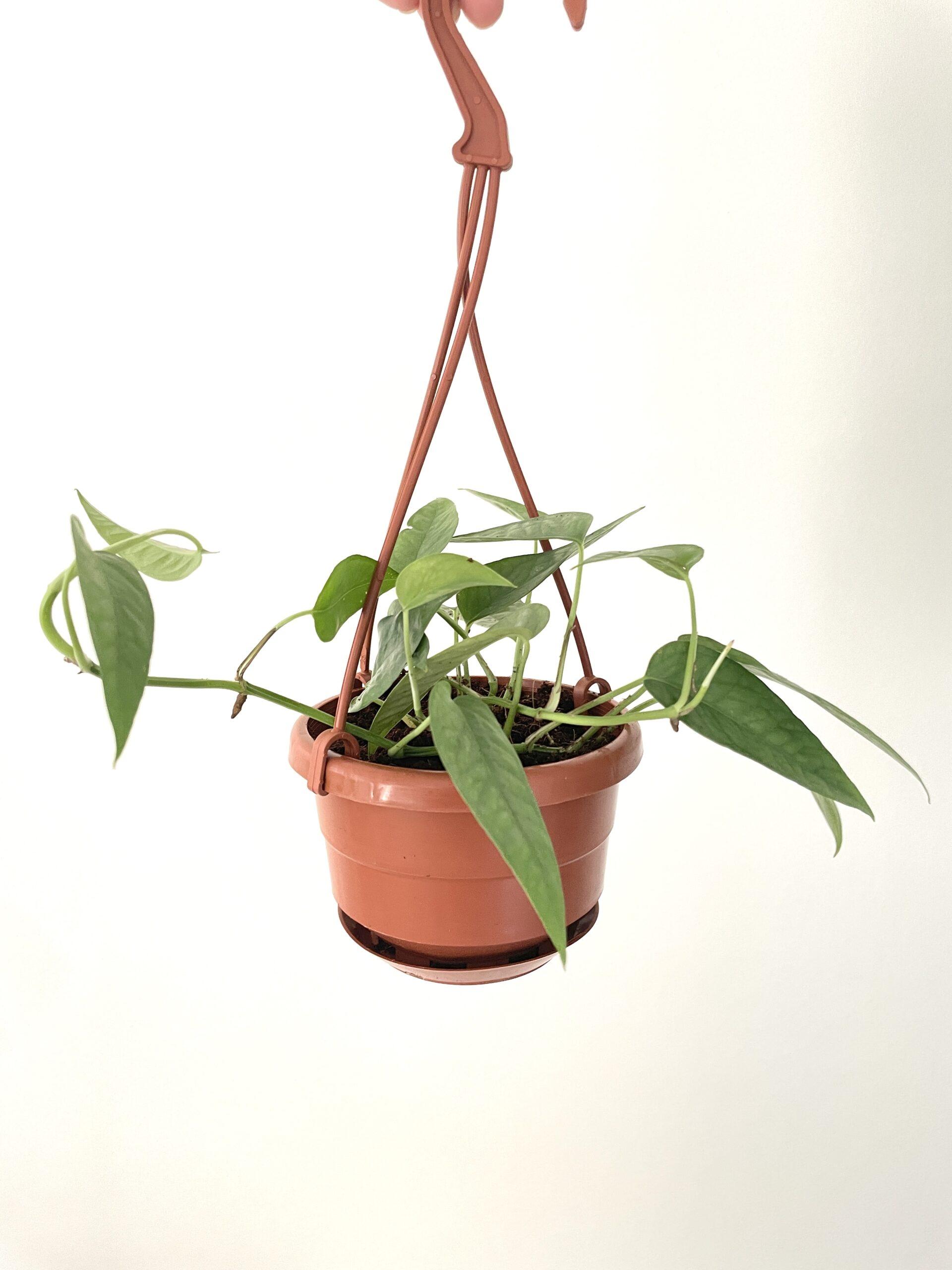 cebu blue plant delivery indoor plant