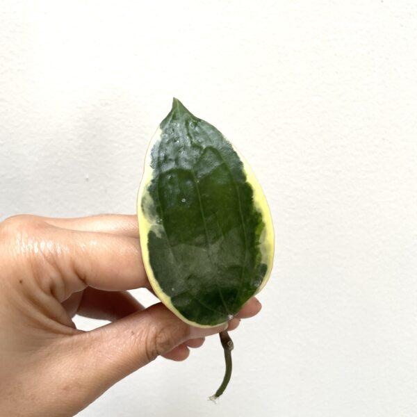 Single Hoya Macrophylla Cutting