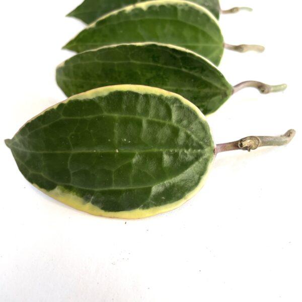 10 pack of Hoya Macrophyllia Cuttings